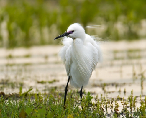 Little egret, Egretta garzetta, Czapla nadobna, heron egret white long legs bird in lake water wildlife nature photography