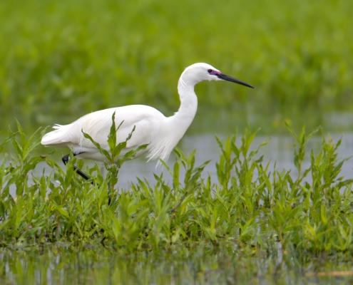 Little egret, Egretta garzetta, Czapla nadobna, heron egret white long legs bird in lake water ang grass wildlife nature photography