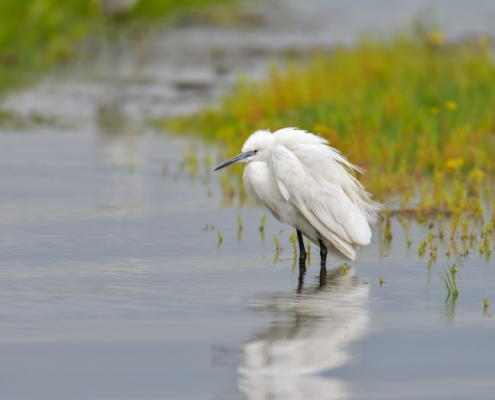 Little egret, Egretta garzetta, Czapla nadobna, heron egret white long legs bird in water and flowers wildlife nature photography