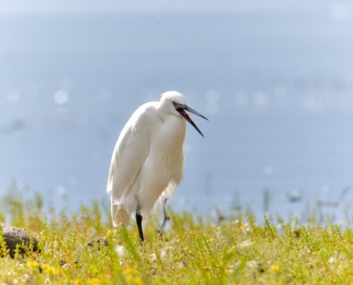 Little egret, Egretta garzetta, Czapla nadobna, heron egret white long legs bird singing egret wildlife nature photography