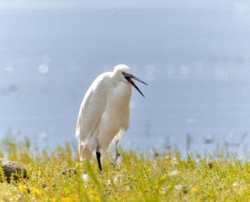 Little egret, Egretta garzetta, Czapla nadobna, heron egret white long legs bird singing egret wildlife nature photography
