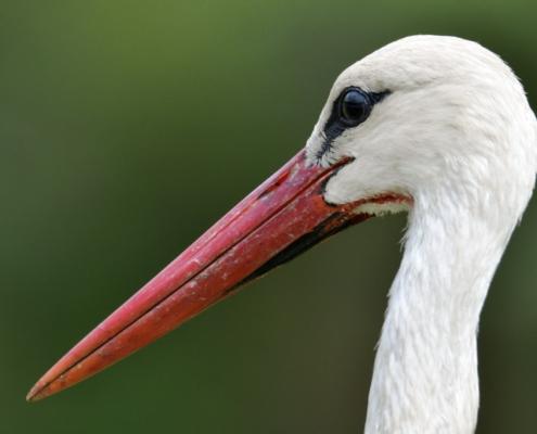 White stork, Ciconia ciconia, Bocian biały,big white bird close up beak feathers nature photography wildlife