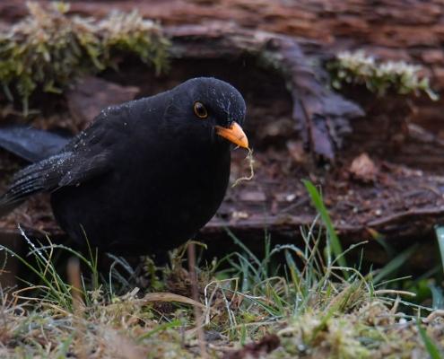 Common blackbird, Turdus merula, Kos black bird with orange beak bill wildlife nature photography Artur Rydzewski