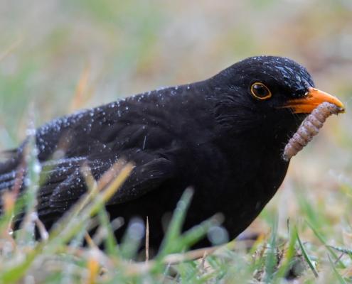 Common blackbird, Turdus merula, Kos black bird with orange beak bill bird with insect, eating bird, wildlife nature photography Artur Rydzewski