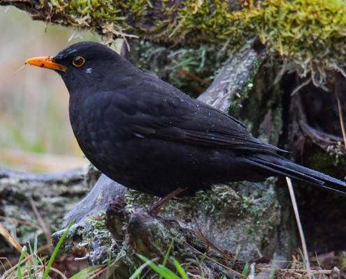 Common blackbird, Turdus merula, Kos black bird with orange beak bill forest wildlife nature photography Artur Rydzewski