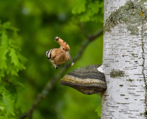 Eurasian hoopoe, Upupa epops, Dudek, huba grzyb, hub mushroom, brown bird, bird with insect, flying bird, Iroquois, irokez, brzoza, ptak siedzący na brzozie, tree, brązowy ptak z czubem, rezerwat świdwie, puszcza wkrzańska, nature photography Artur Rydzewski