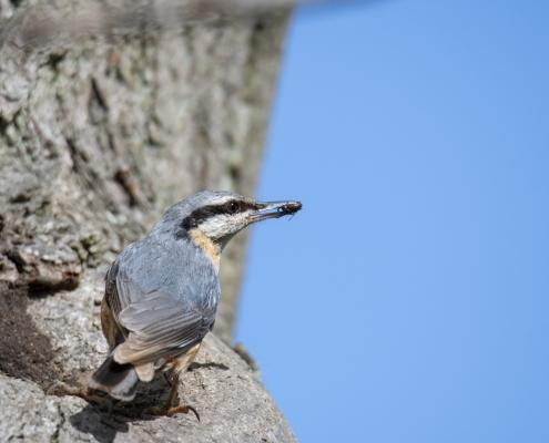 Eurasian nuthatch, Sitta europaea, Kowalik, small blue bird blue orange bird wildlife nature photography Artur Rydzewski rezerwat świdwie puszcza wkrańska