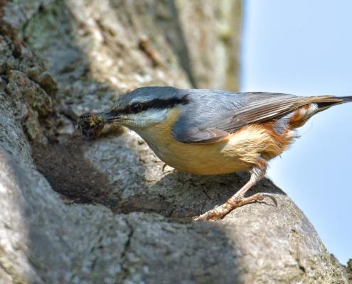 Eurasian nuthatch, Sitta europaea, Kowalik, small blue bird blue orange bird cleaning nest wildlife nature photography Artur Rydzewski rezerwat świdwie puszcza wkrańska