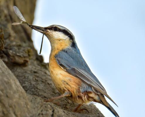 Eurasian nuthatch, Sitta europaea, Kowalik, small blue bird blue orange bird feed feeding wildlife nature photography Artur Rydzewski rezerwat świdwie puszcza wkrańska