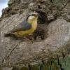 Eurasian nuthatch, Sitta europaea, Kowalik, small blue bird blue orange bird tree nest wildlife nature photography Artur Rydzewski rezerwat świdwie puszcza wkrańska