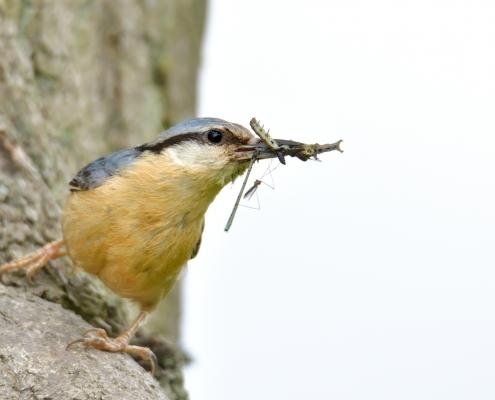 Eurasian nuthatch, Sitta europaea, Kowalik, small blue bird blue orange bird feeding feed wildlife nature photography Artur Rydzewski rezerwat świdwie puszcza wkrańska