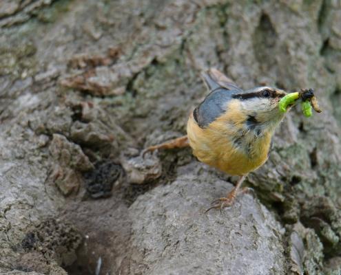 Eurasian nuthatch, Sitta europaea, Kowalik, small blue bird blue orange bird feeding feed tree wildlife nature photography Artur Rydzewski rezerwat świdwie puszcza wkrańska