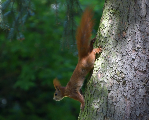 Red squirrel, Sciurus vulgaris, Wiewiórka pospolita, squirrel red animal walking on tree wildlife nature photography Artur Rydzewski