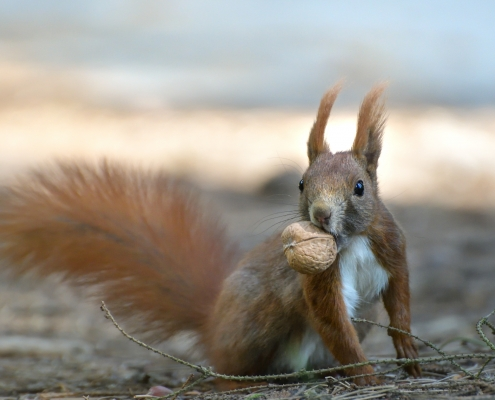 Red squirrel, Sciurus vulgaris, Wiewiórka pospolita, squirrel red animal with walnut squirrel wildlife nature photography Artur Rydzewski