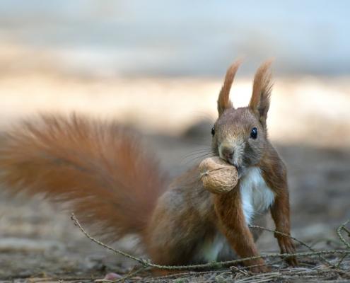Red squirrel, Sciurus vulgaris, Wiewiórka pospolita, squirrel red animal with walnut squirrel wildlife nature photography Artur Rydzewski