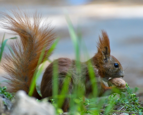 Red squirrel, Sciurus vulgaris, Wiewiórka pospolita, squirrel red animal with walnut squirrel grass wildlife nature photography Artur Rydzewski