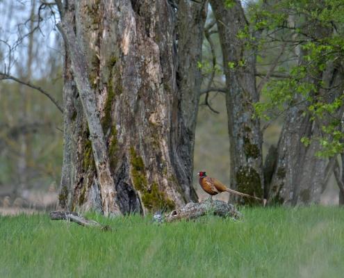 Common pheasant, Phasianus colchicus, Bażant zwyczajny, brown bird red head bird on tree wildlife nature photography Artur Rydzewski puszcza wkrzańska rezerwat świdwie