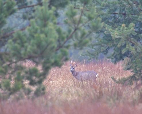 European roe deer, Capreolus, Kozioł sarna, koziołek, wildlife nature photography puszcza wkrzańska rezerwat świdwie Artur Rydzewski