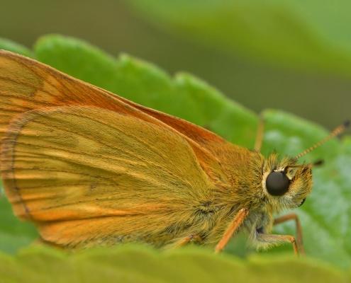 Skipper, Thymelicus lineola, Karłątek ryska, Karłątek tarninowy orange butterfly green leaf insect nature photography