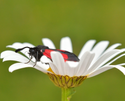 Zygaena purpuralis, Transparent burnet, Kraśnik purpuraczek, insect moth black red butterfly white flower stokrotka bellis nature photography wildlife