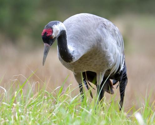 Common crane, Grus grus, Żuraw, big grey bird red head close up beak feathers wildlife nature photography puszcza wkrzańska rezerwat świdwie Artur Rydzewski