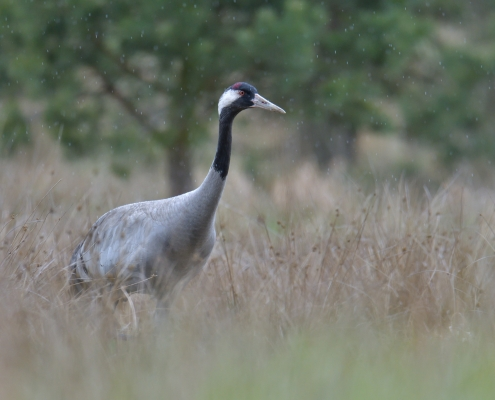 Common crane, Grus grus, Żuraw, big grey bird red head close up beak feathers bird in the rain wildlife nature photography puszcza wkrzańska rezerwat świdwie Artur Rydzewski