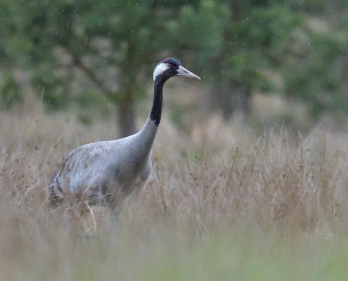 Common crane, Grus grus, Żuraw, big grey bird red head close up beak feathers bird in the rain wildlife nature photography puszcza wkrzańska rezerwat świdwie Artur Rydzewski