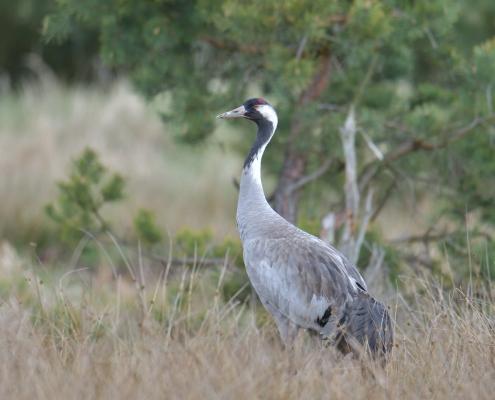 Common crane, Grus grus, Żuraw, big grey bird red head close up beak feathers tree wildlife nature photography puszcza wkrzańska rezerwat świdwie Artur Rydzewski