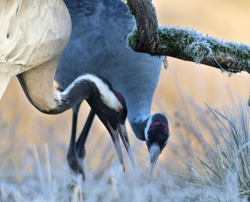Common crane, Grus grus, Żuraw, big grey bird red head close up beak couple grey feathers frost freeze wildlife nature photography puszcza wkrzańska rezerwat świdwie Artur Rydzewski