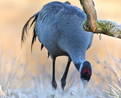 Common crane, Grus grus, Żuraw, big grey bird red head close up beak grey feathers frost freeze branch moss wildlife nature photography puszcza wkrzańska rezerwat świdwie Artur Rydzewski