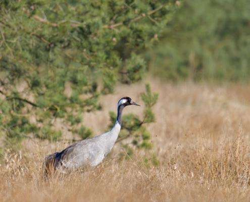 Common crane, Grus grus, Żuraw, big grey bird red head beak grey feathers tree wildlife nature photography puszcza wkrzańska rezerwat świdwie Artur Rydzewski