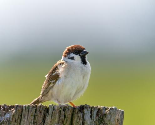Eurasian tree sparrow, Passer montanus, Mazurek, small bird, brown head, nature photography Rezerwat Świdwie, Puszcza Wkrzańska Artur Rydzewski