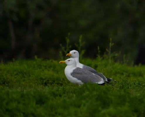 European herring gull, Larus argentatus, Mewa srebrzysta, sea gull bird animals birds white grey birds dark morning light nature photogrphy Artur Rydzewski