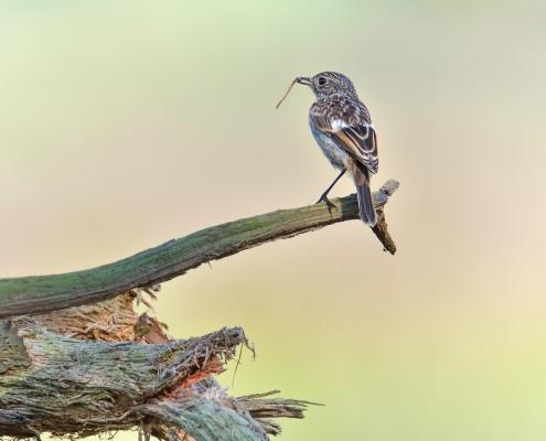 European stonechat, Saxicola rubicola, Kląskawka, small young bird branch root grey bird sun light backlight eating bird wildlife nature photography rezerwat Świdwie puszcza wkrzańska Artur Rydzewski