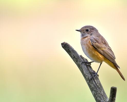Common redstart, Phoenicurus phoenicurus, Pleszka, smal orange bird siting on stick branch nature wildlife wild look rezerwat świdwie puszcza wkrzańska Artur Rydzewski
