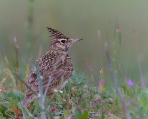 Crested lark, Galerida cristata, Dzierlatka, Śmieciuszka, Pośmieciuszka, ptak, small bird in grass, wildlife, nature photography Artur Rydzewski