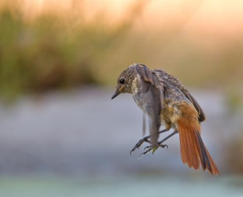 Common redstart, Phoenicurus phoenicurus, Pleszka, small bird with orange tail, orange, bird, landing bird, in flight, ptak z pomarańczowym ogonem, water, wildlife nature photography, Artur Rydzewski