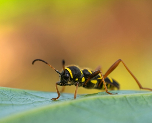 Wasp beetle, Biegowiec osowaty, Clytus arietis, insect, bug, owad, robak, balck yellow insect on leaf, orange background, close up, closeup, macro photography, Artur RydzewskiArtur Rydzewski