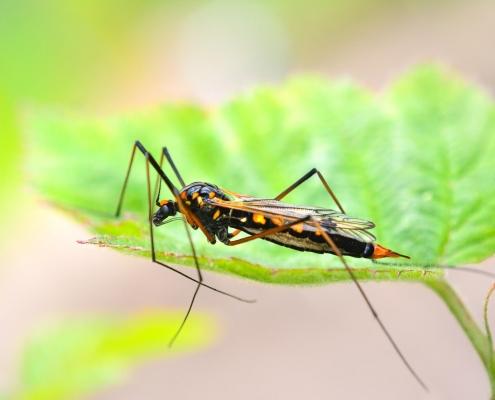 Ctenophora flaveolata, krzewioróżka próchniarka owad, robak, insect, macro photography, close up, closeup, black yellow insect, leaf, artur rydzewski