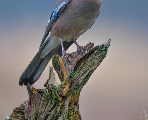 Eurasian Jay, Sójka Zwyczajna, Garrulus Glandarius, bird, blue wings, ptak niebieskie skrzydła, Rezerwat Świdwie, Puszcza wkrzańska, Artur Rydzewski, bird on tree root
