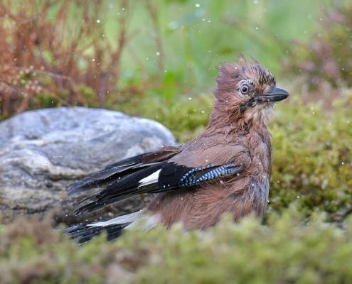 Eurasian jay, Garrulus glandarius, Sójka ptak, niebieskie skrzydła, bird, blue wings, puszcza wkrzańska, rezerwat świdwie, natura nature Artur Rydzewski