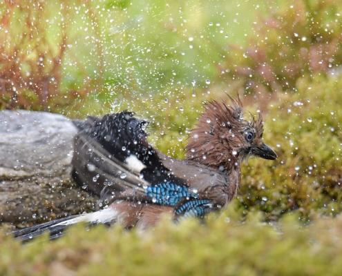 Eurasian jay, Garrulus glandarius, Sójka, color bird beige blue wings beak wildlife nature photography Artur Rydzewski, Rezerwat Świdwie, Puszcza Wkrzańska, bird in bath, wet bird close up