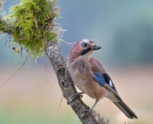 Eurasian jay, Garrulus glandarius, Sójka, color bird beige blue wings beak wildlife nature photography Artur Rydzewski, Rezerwat Świdwie, Puszcza Wkrzańska, bird in bath, wet bird close up, bird siting on the stick moss