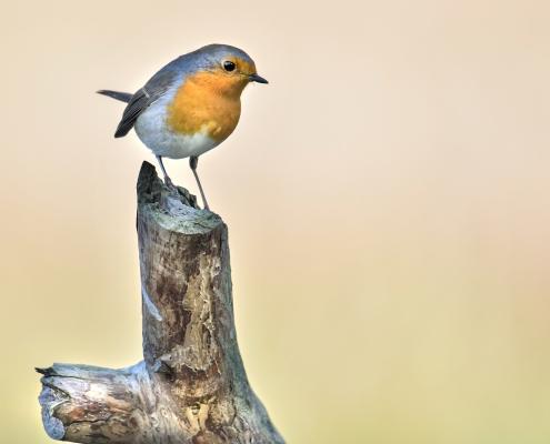 Europian Robin, Erithacus rubecula, Rudzik, Raszka ptak z pomarańczowym brzuszkiem, orange bird on stick, wildlife nature photography Artur Rydzewski, Puszcza wkrzańska, rezerwat świdwie