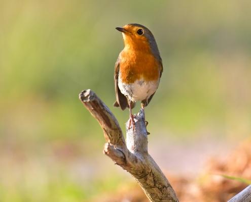 Europian Robin, Erithacus rubecula, Rudzik, Raszka ptak z pomarańczowym brzuszkiem, orange bird on stick, close up bird, wildlife nature photography Artur Rydzewski, Puszcza wkrzańska, rezerwat świdwie