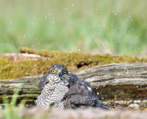 Krogulec ptak drapieżny, kąpiel, myjący się ptak, Jastrząb wróblarz, Accipiter nisus, Eurasian sparrowhawk bird looking at me, bird bath, bath, bird of prey, wilglife nature photography Puszcza Wkrzańska Rezerwat Świdwie, Artur Rydzewski