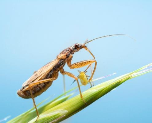Common Damsel Bug, Zażartka podtrawna, owad, robak, Nabis rugosus, insect bug blue background, eat closeup, close up, macro photography, brown insect, Artur Rydzewski