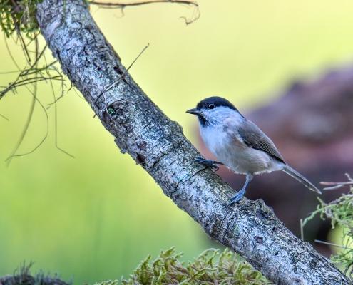 Poecile palustris, Marsh tit, Sikora uboga, Szarytka, Błotniczka, sikora trzcinna, ptak, mały ptak, ptak na patyku, ptak na gałęzi, bird, small bird, green background, nature, wildlife, Puszcza Wkrzańska, Rezerwat Świdwie, Artur Rydzewski