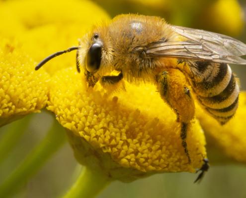 Bee, Apis mellifera, Pszczoła miodna, insect, macro, macro photography, yellow insect, yellow, yellow flower