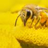 Bee, Apis mellifera, Pszczoła miodna, insect, macro, macro photography, yellow insect, yellow, yellow flower, close up, closeup, nature, world bee day